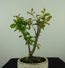 Bonsai Pomegranate, Punica granatum, no. 7588