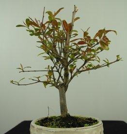 Bonsai Granatapfel, Punica granatum, nr. 7589