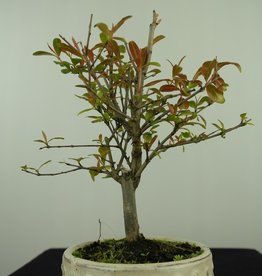 Bonsai Pomegranate, Punica granatum, no. 7589