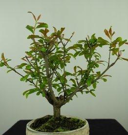 Bonsai Granatapfel, Punica granatum, nr. 7590
