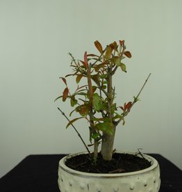 Bonsai Pomegranate, Punica granatum, no. 7594