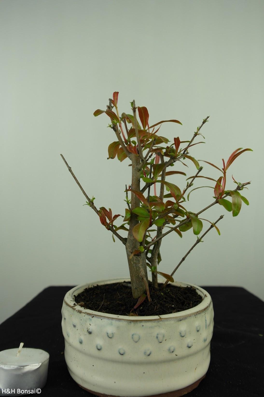Bonsai Granatapfel, Punica granatum, nr. 7594
