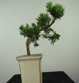 Bonsai Chin. Steineibe, Podocarpus, nr. 7595