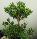 Bonsai Chin. Steineibe, Podocarpus, nr. 7596