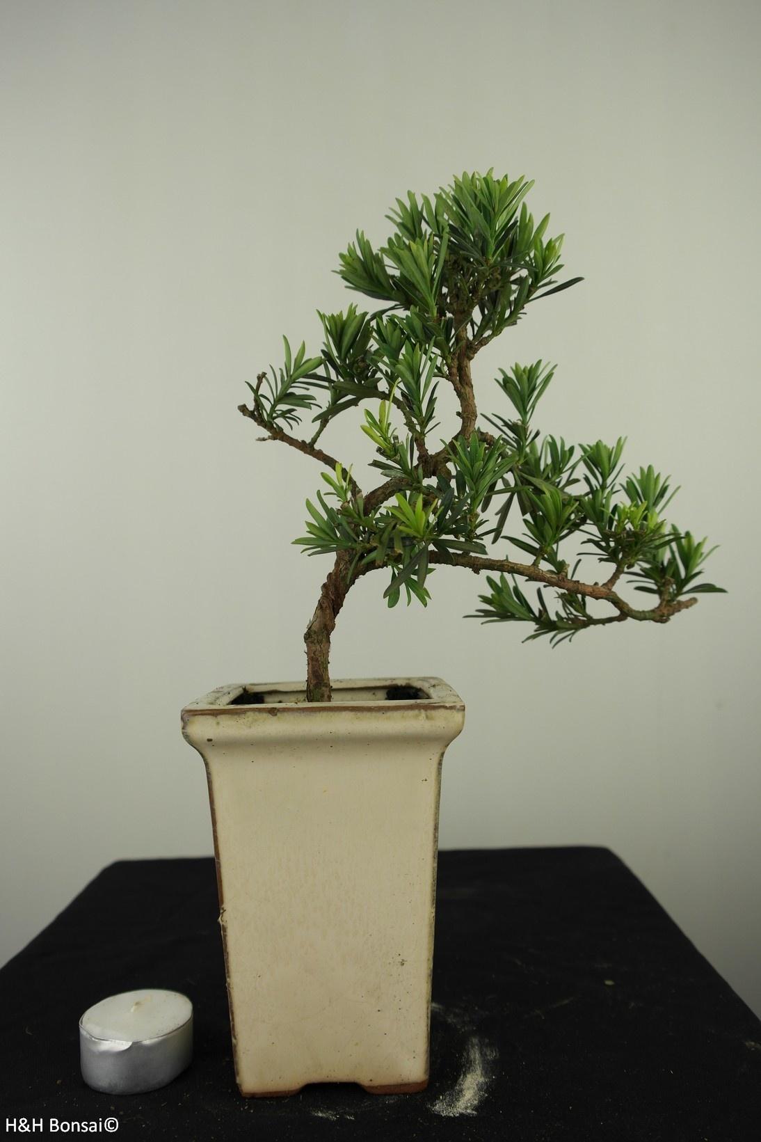 Bonsai Chin. Steineibe, Podocarpus, nr. 7598