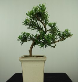 Bonsai Buddhist Pine, Podocarpus, no. 7599
