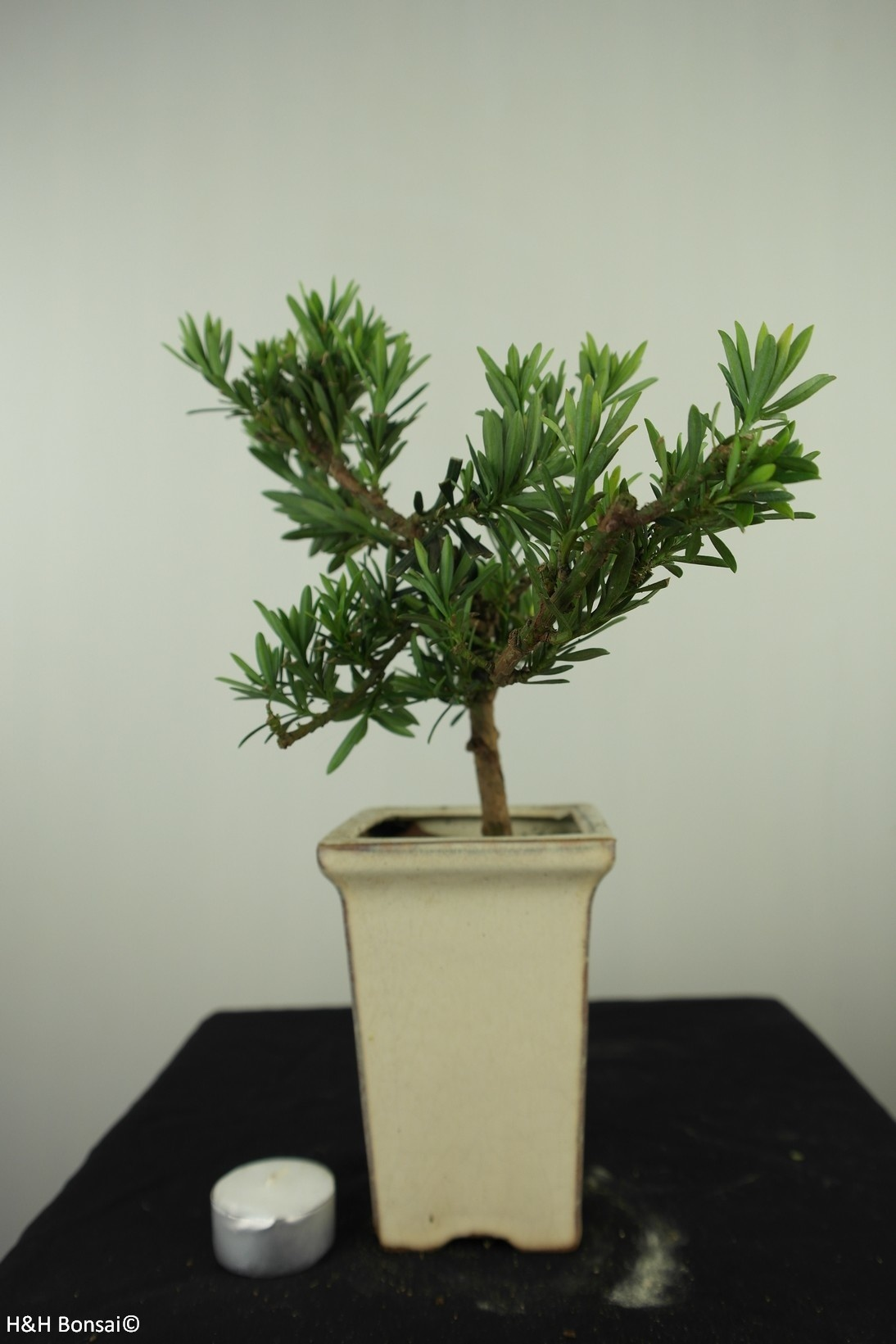 Bonsai Chin. Steineibe, Podocarpus, nr. 7599