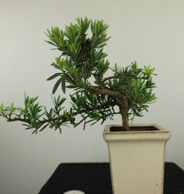 Bonsai Buddhist Pine, Podocarpus, no. 7600