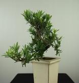 Bonsai Chin. Steineibe, Podocarpus, nr. 7600