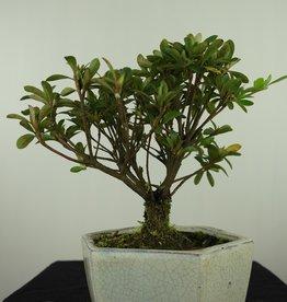 Bonsai Azalee, Azalea Rhododendron indicum, nr. 7603