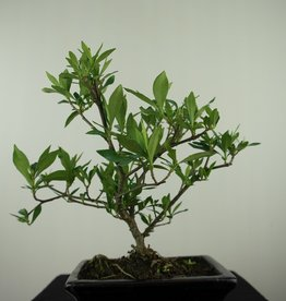 Bonsai Gardenia jasminoides, no. 7605
