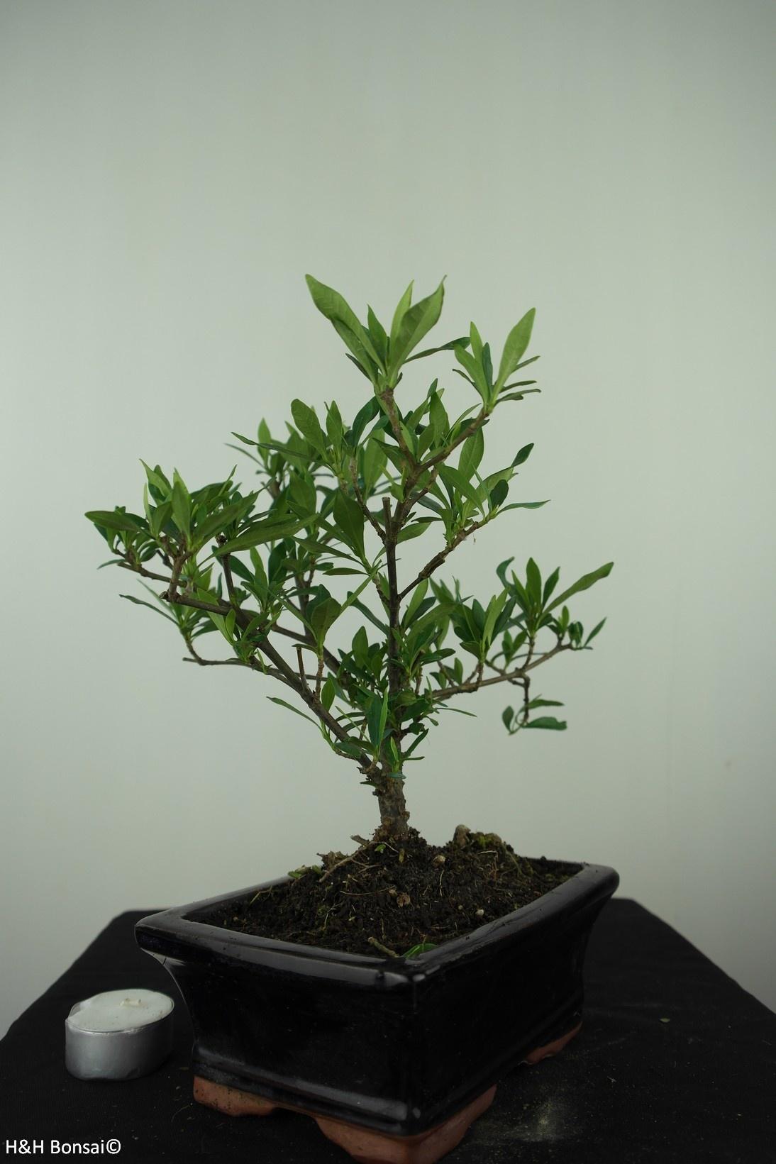 Bonsai Gardenie, Gardenia jasminoides, nr. 7605