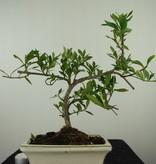 Bonsai Gardenie, Gardenia jasminoides, nr. 7606