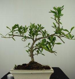 Bonsai Gardenia jasminoides, no. 7606