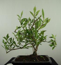 Bonsai Gardenia jasminoides, no. 7608