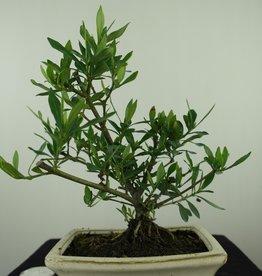 Bonsai Gardenia jasminoides, no. 7610
