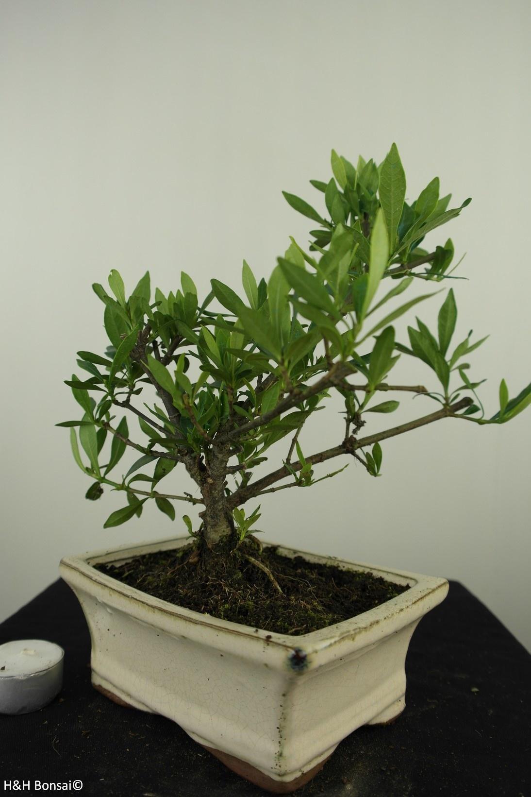 Bonsai Gardenie, Gardenia jasminoides, nr. 7610