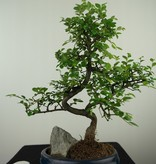 Bonsai Chin. Ulme mit Stein, Ulmus, nr. 7611