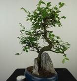 Bonsai Chin. Ulme mit Stein, Ulmus, nr. 7612