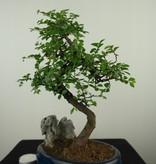 Bonsai Chin. Ulme mit Stein, Ulmus, nr. 7615