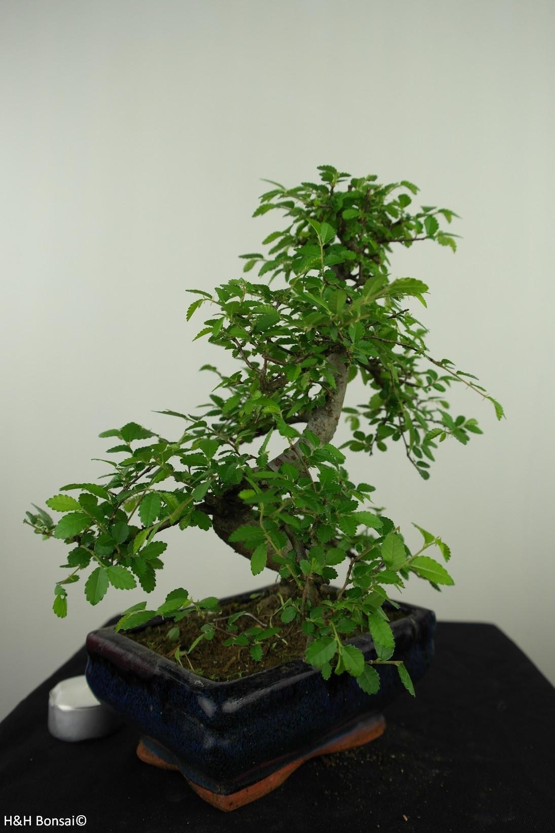 Bonsai Chin. Ulme, Ulmus, nr. 7624