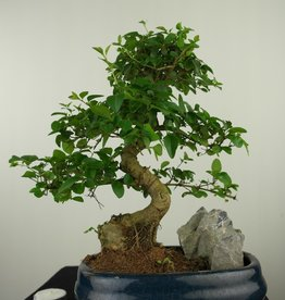 Bonsai Ligustrum nitida, nr. 7629