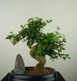 Bonsai Ligustrum nitida, nr. 7630