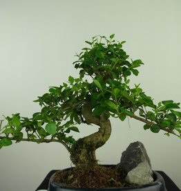 Bonsai Ligustrum nitida, nr. 7632