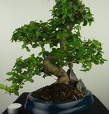 Bonsai Ligustrum nitida, nr. 7633