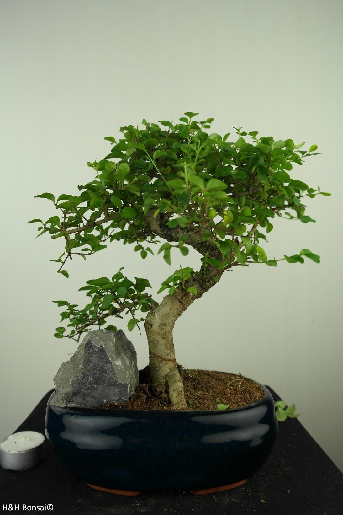 Bonsai Ligustrum nitida, nr. 7634