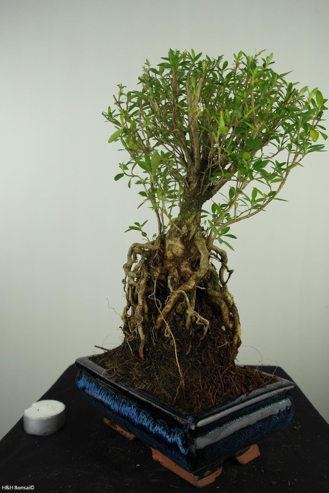 Bonsai Junischnee, Serissa foetida, nr. 7635