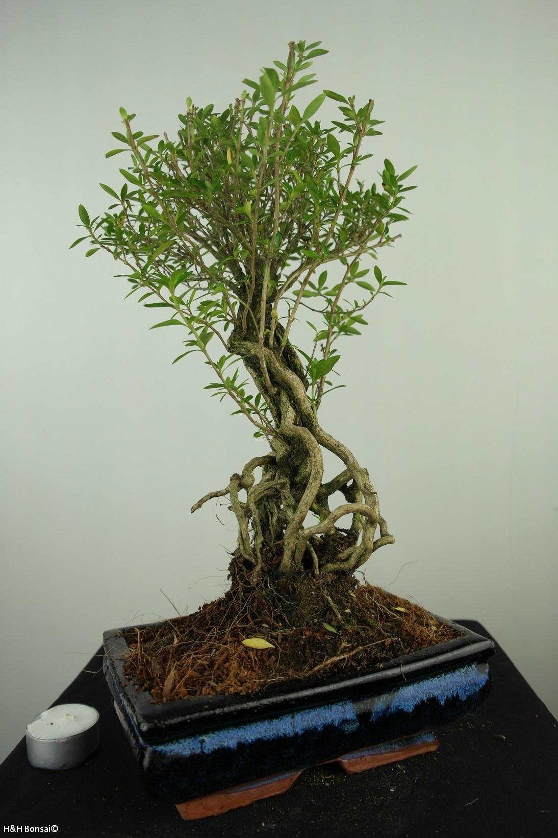 Bonsai Junischnee, Serissa foetida, nr. 7636