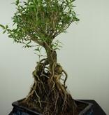 Bonsai Junischnee, Serissa foetida, nr. 7637