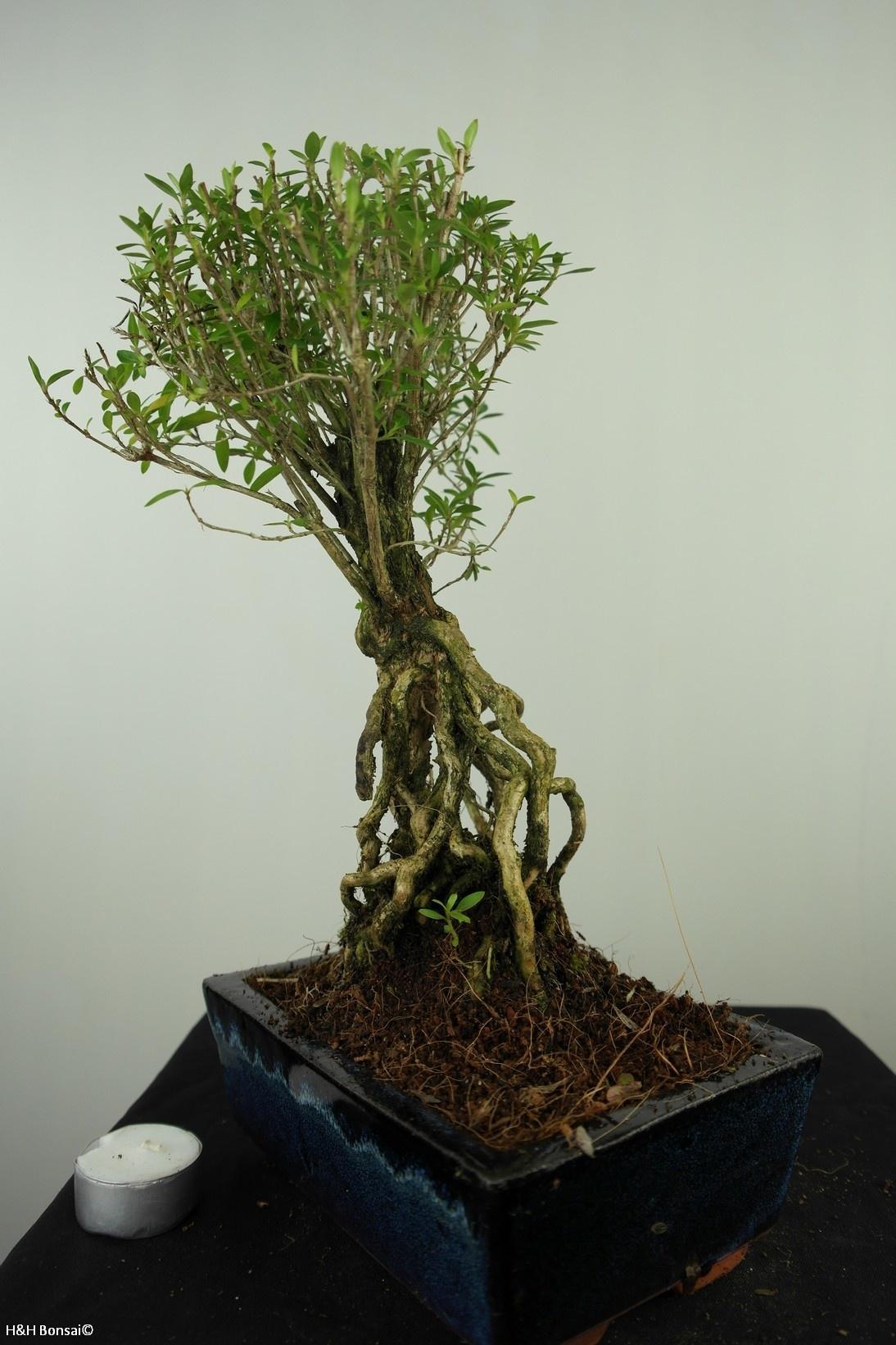 Bonsai Junischnee, Serissa foetida, nr. 7638