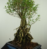 Bonsai Junischnee, Serissa foetida, nr. 7641