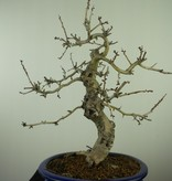 Bonsai Rotdorn, Crataegus cuneata, nr. 7646