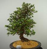 Bonsai Azalea SatsukiKakuo, no. 7661