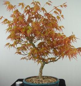 Bonsai Japanese Maple Katsura, Acer palmatum Katsura, no. 7671