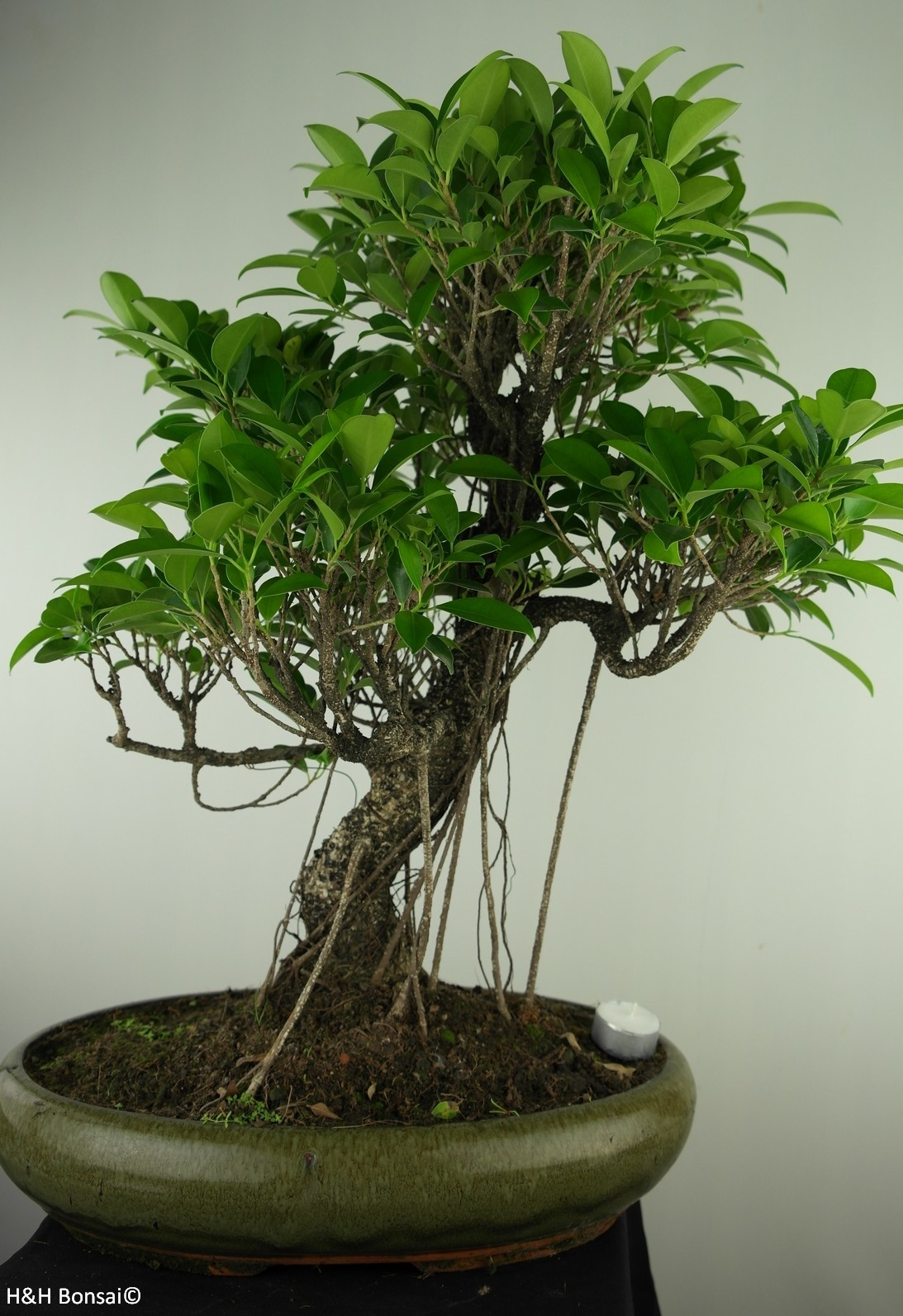 Bonsai Chin. Feigenbaum, Ficus retusa, nr. 7674