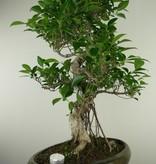 Bonsai Chin. Feigenbaum, Ficus retusa, nr. 7675
