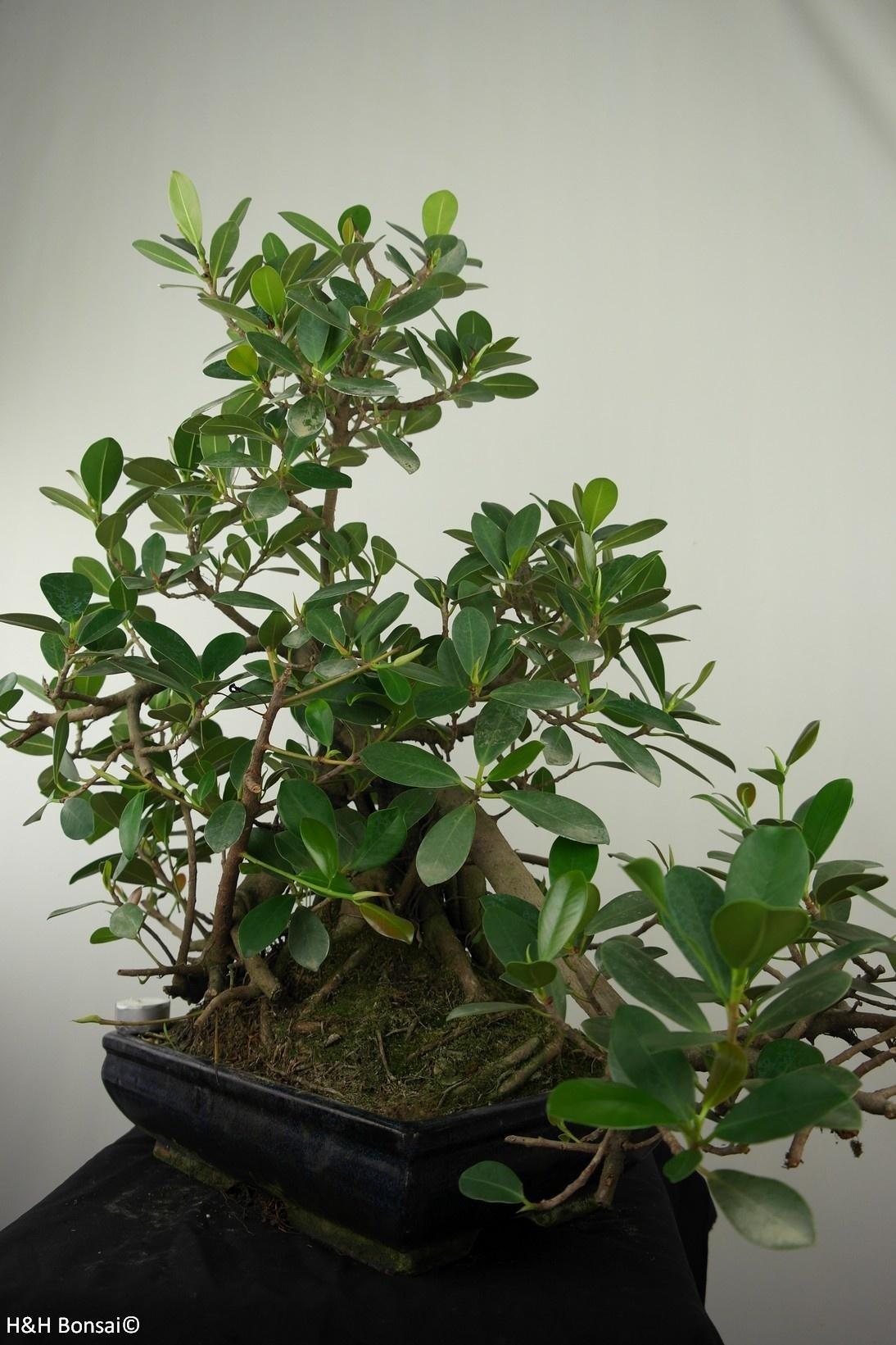 Bonsai Kleinblättriger Gummibaum, Ficus microcarpa panda, nr. 7681