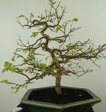 Bonsai Syzygium, no. 7688