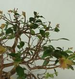 Bonsai Syzygium, nr. 7689