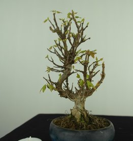 Bonsai Shohin Trident maple, Acer buergerianum, no. 7693