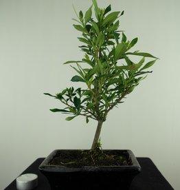 Bonsai Gardenia jasminoides, no. 7698