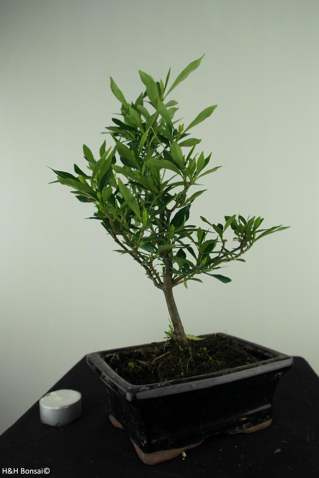 Bonsai Gardenie, Gardenia jasminoides, nr. 7698