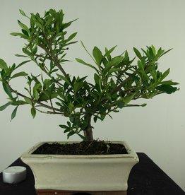 Bonsai Gardenia jasminoides, no. 7699