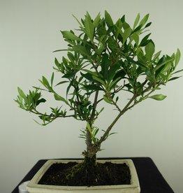 Bonsai Gardenia jasminoides, no. 7700