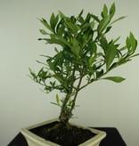 Bonsai Gardenie, Gardenia jasminoides, nr. 7700