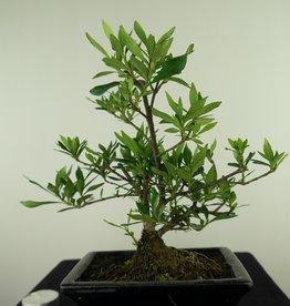 Bonsai Gardenia jasminoides, no. 7701